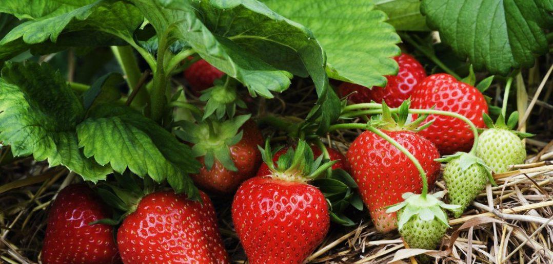 Чтобы ягоды не мельчали: чем обработать клубнику осенью