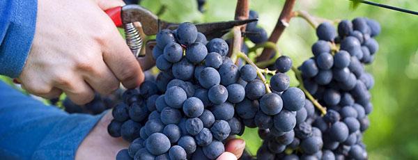 Посадка и уход за виноградом осенью – полезные советы