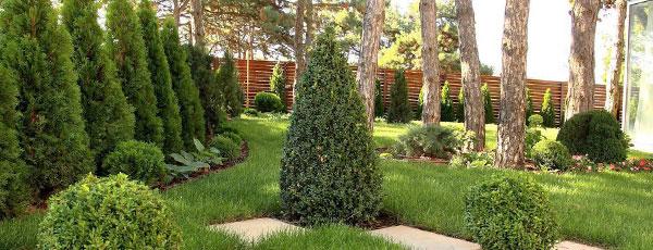 Поселите хвойники в саду – посадка туи, сосны, пихты, можжевельника осенью