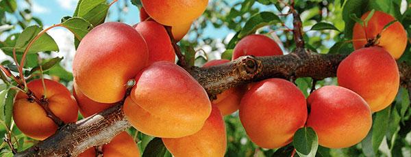 Вредители и болезни: как уберечь абрикос от напастей