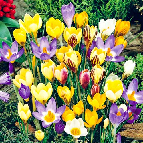 Крокус ботанический, микс изображение 1 артикул 67333