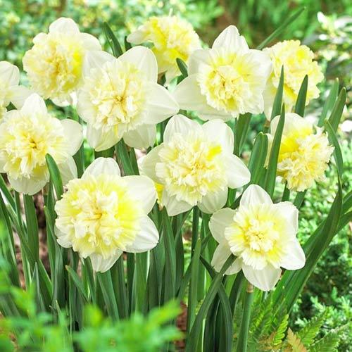 Нарцисс махровый Айс Кинг изображение 1 артикул 67415