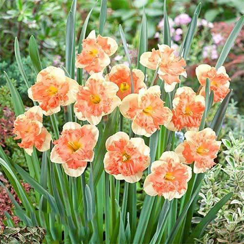 Нарцисс сплит-корона Ванилла Пич изображение 1 артикул 67437