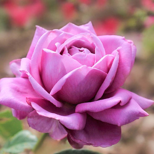 Роза чайно-гибридная Блю Парфюм изображение 1 артикул 2108