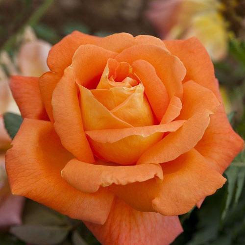 Роза чайно-гибридная Черри Бренди изображение 1 артикул 2141