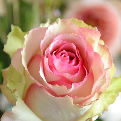 Роза чайно-гибридная Дансинг Квин изображение 1 артикул 2116