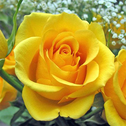 Роза чайно-гибридная Голден Моника