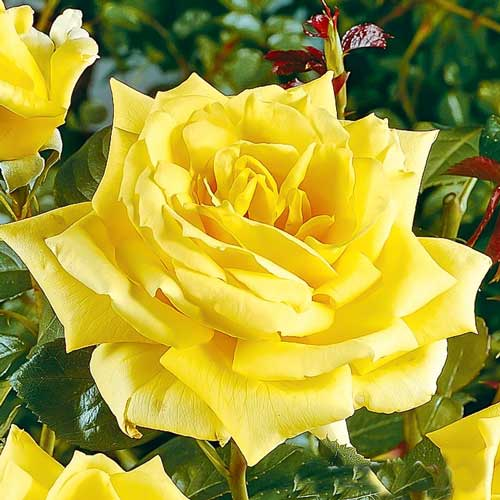 Роза чайно-гибридная Ландора изображение 1 артикул 2123