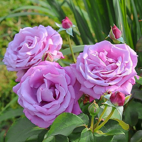 roza-chayno-gibridnaya-sharl-de-gol_1.jp