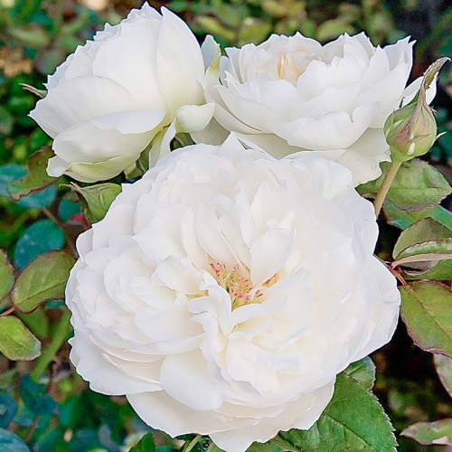 Роза флорибунда Болеро изображение 1 артикул 2191