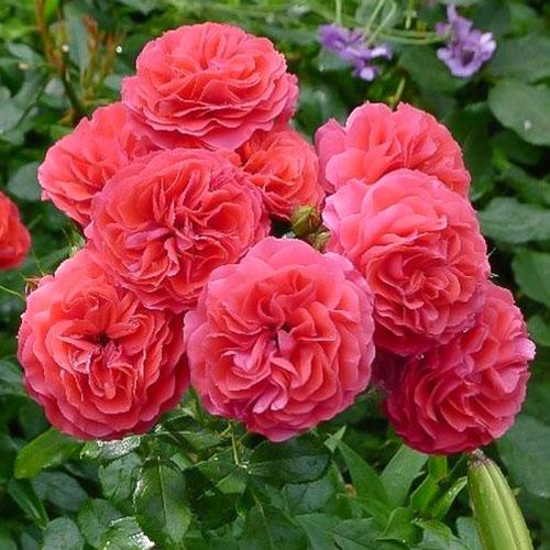 Роза флорибунда Черри Герл изображение 1 артикул 2203