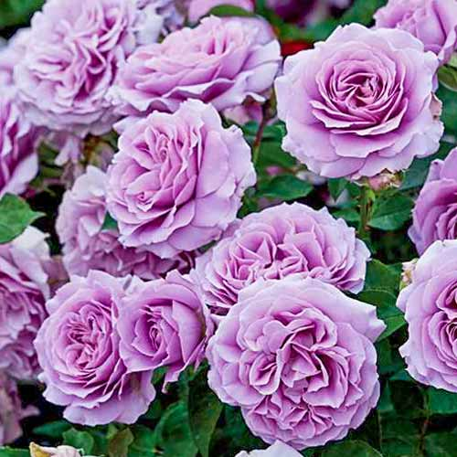 Роза флорибунда Лав Сонг изображение 1 артикул 2193