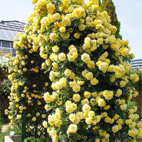 Роза плетистая Голден Ковер изображение 1 артикул 2156