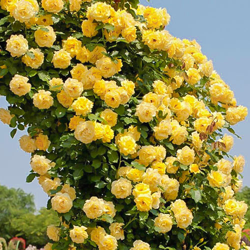Роза плетистая Казино изображение 1 артикул 2165