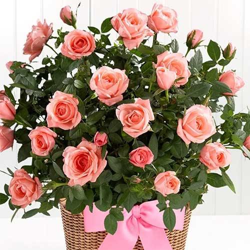 Роза спрей Лидия изображение 1 артикул 2234