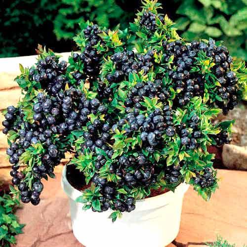 Черника садовая Топ Хат изображение 1 артикул 9243