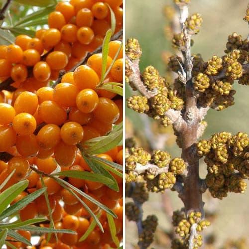 Облепиха Оранжевая сила: муж.(1) + жен.(1) изображение 1 артикул 9253