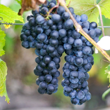 Виноград Макси черный изображение 1 артикул 7321