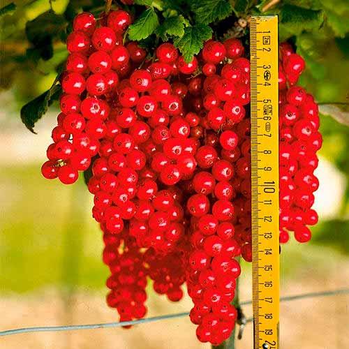 Смородина красная Ровада изображение 1 артикул 7570