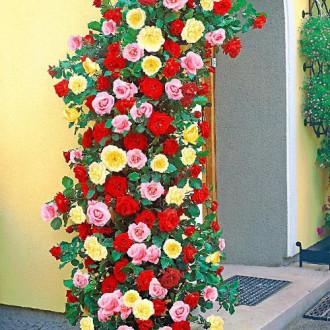 Суперпредложение! Комплект плетистых роз Триколор из 3 сортов изображение 2