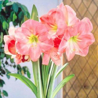 Амариллис (гиппеаструм) Сьюзан изображение 3