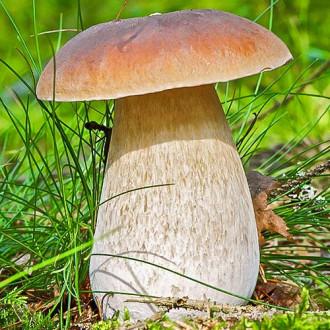 Белый гриб изображение 2