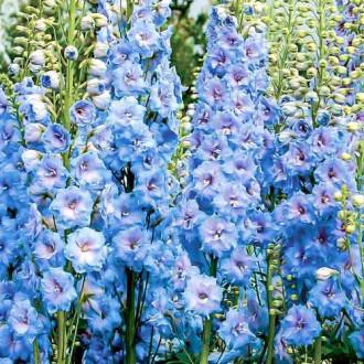 Дельфиниум Голубое кружево Русский огород НК изображение 5