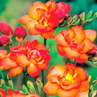 Фрезия Дабл Оранж изображение 3