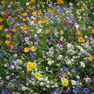 Газон цветущий Сибиряк, смесь окрасок Русский огород НК изображение 2