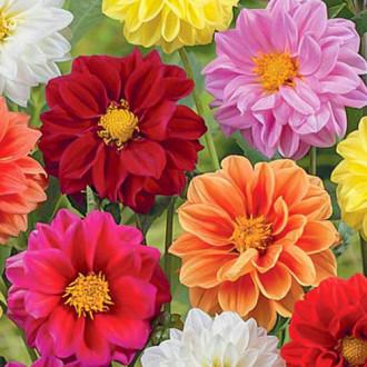 Георгина Клауди, смесь окрасок Premium Seeds изображение 5