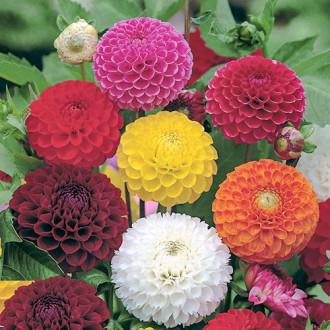 Георгина Клеопатра, смесь окрасок Premium Seeds изображение 6