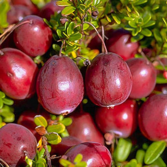 Клюква крупноплодная Бен Лир изображение 2