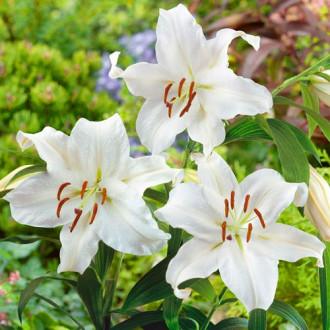 Лилия восточная Сантандер изображение 5