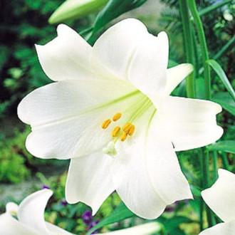 Лилия трубчатая Вайт Хевен изображение 8