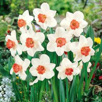 Нарцисс крупноцветковый Пинк Шарм изображение 3