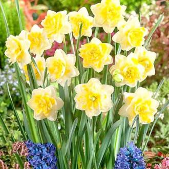 Нарцисс махровый Свит Помпонетт изображение 8