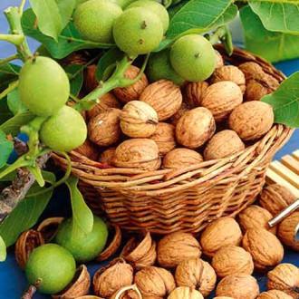 Орех грецкий Урожайный изображение 8