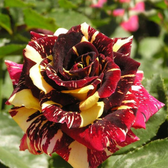 Роза чайно-гибридная Абракадабра изображение 7