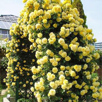 Роза плетистая Голден Ковер изображение 7