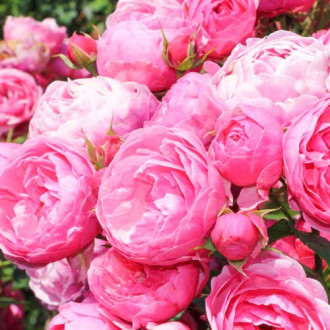 Роза флорибунда Помпонелла изображение 8