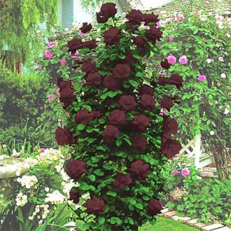 Роза плетистая Черная Королева изображение 7