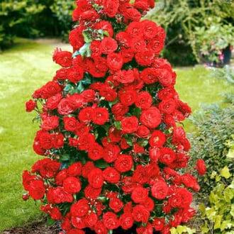 Роза плетистая Красная изображение 7