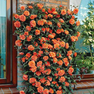 Роза плетистая Оранжевая изображение 8