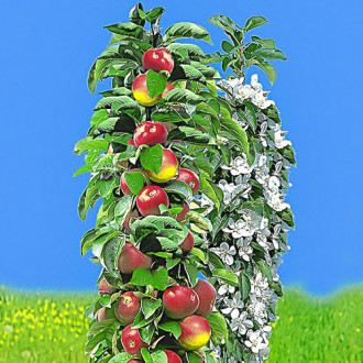 Яблоня колоновидная ранняя изображение 2