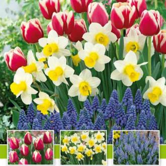 Суперпредложение! Комплект нарциссов, тюльпанов, мускари из 30-ти луковиц изображение 4