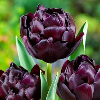 Тюльпан махровый Блэк Хиро изображение 3
