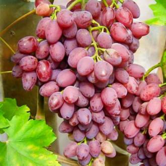 Виноград кишмиш Лучистый изображение 5