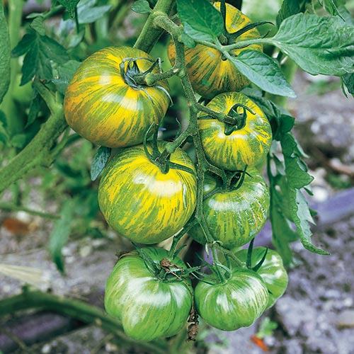 Томат Изумрудное яблоко Седек изображение 1 артикул 65158
