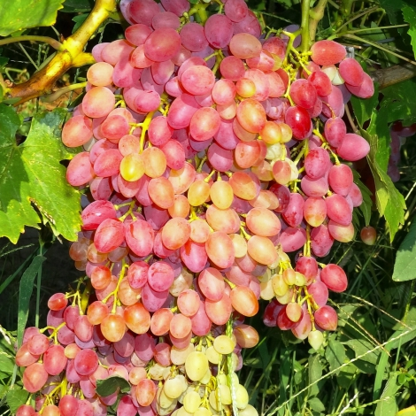 Виноград кишмиш красный