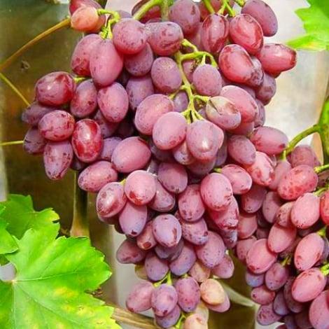 Виноград кишмиш Лучистый изображение 1 артикул 7314